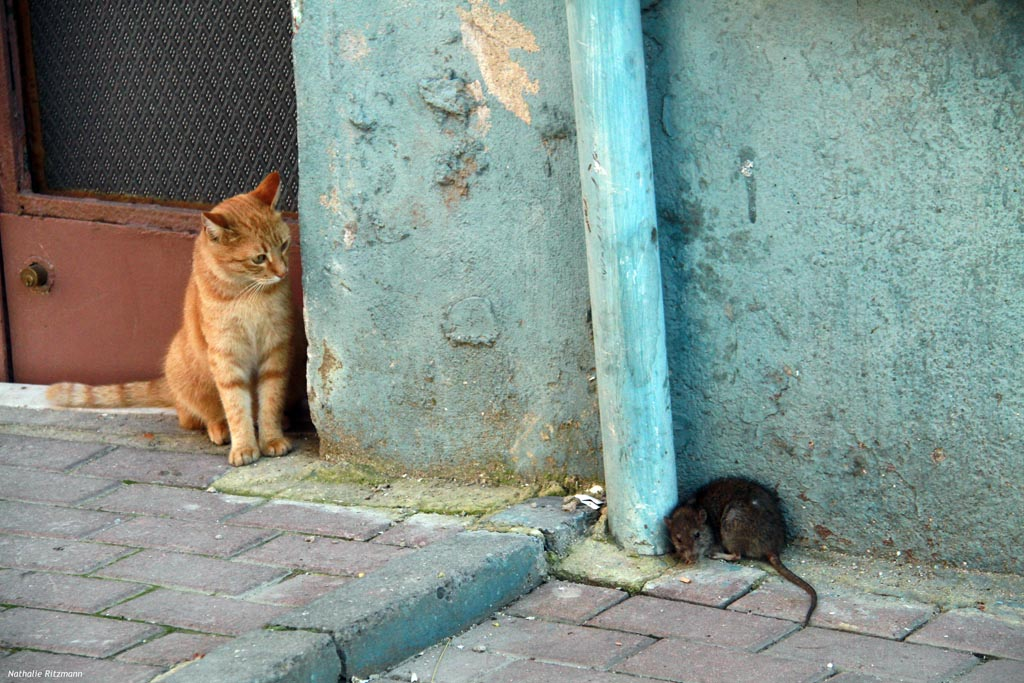 Chats d'Istanbul