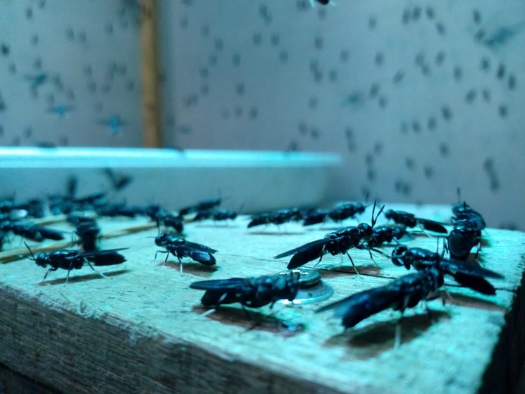Black Soldier Flies