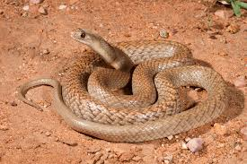 serpent brun brown snake