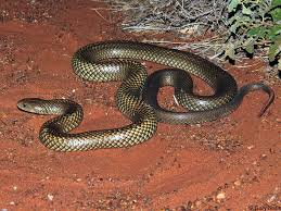 marron serpent mulga