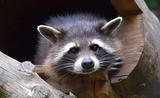 raccoon-853830_960_720
