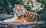 Tigre Zoo Londres Attaque