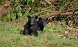 www.maxpixel.net-Black-Bear-Cubs-Wildlife-Bears-Bear-Animal-Young-2848515