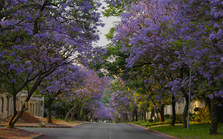 Bryanston, South Africa, jacaranda, petit journal, johannesburg, opportunité