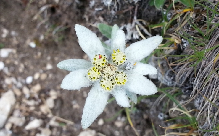 voeux 2019 greetings edelweiss Australie