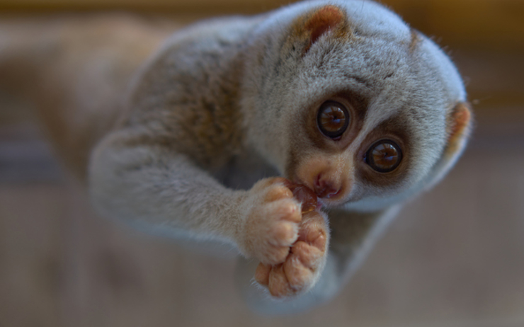 loris, loris lent, singe, toxique, mignon, menacé, animal , calmbodge