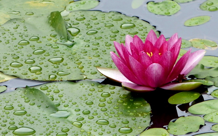 Lotus-Rainy-season-Thailand