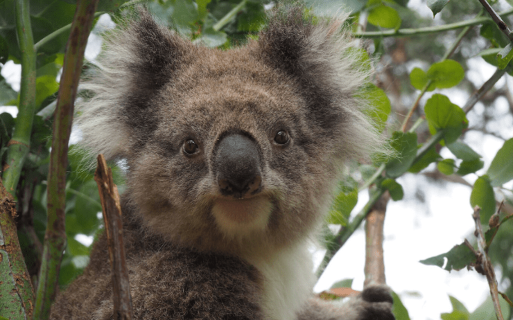koala Australie drones incendies